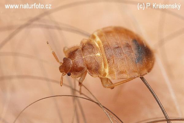 Weeluis ( cimex lectularius )