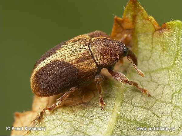 Weevil (Lignyodes enucleator)