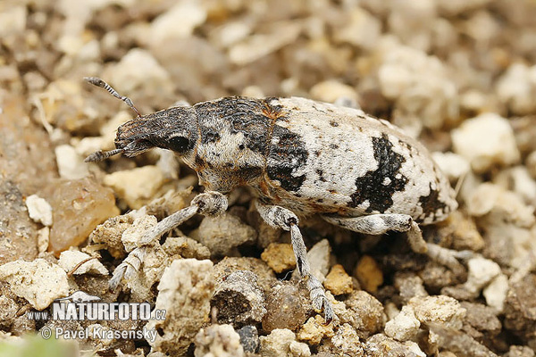Weevil (Bothynoderes affinis)