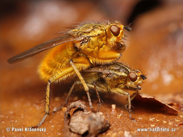 Yellow Dung Fly (Scatophaga stercoraria)