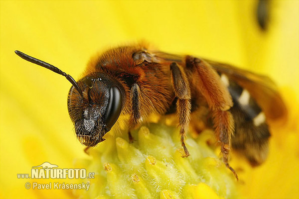 Yellow-footed Solitary Bee (Lasioglossum xanthopus)