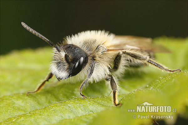 Yellow Legged Mining Bee