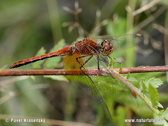 Yellow winged Darter (Sympetrum flaveolum)
