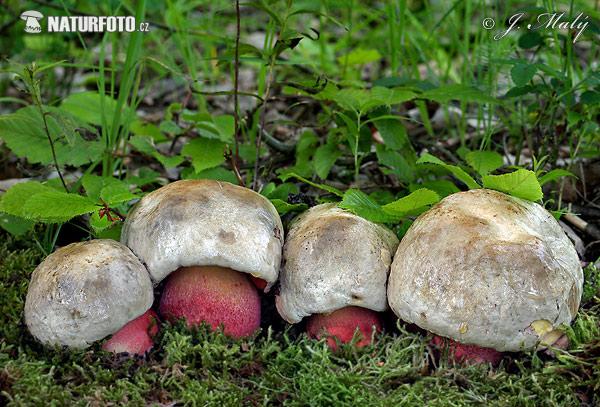 гриб чортів фото
