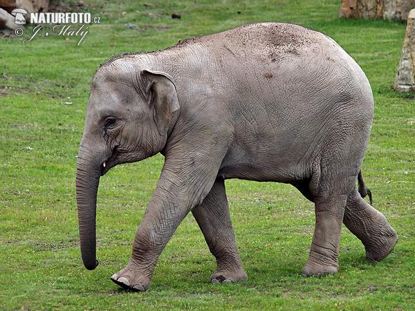 アジアゾウの画像 p1_3