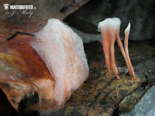 Anthina flammea Mushroom (Anthina flammea)