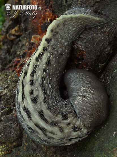 Ashy-grey Ash-black Slug (Limax cinereoniger)