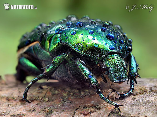 Big Rose-Chafer (Protaetia aeruginosa)