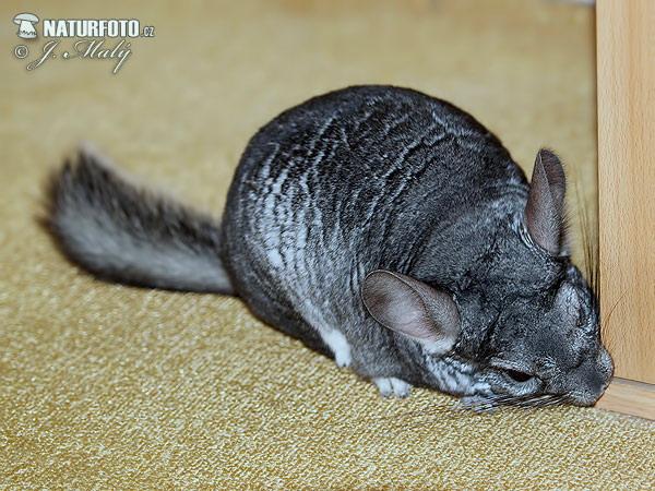 Chinchilla lanigera Pictures, Long-tailed chinchilla ...