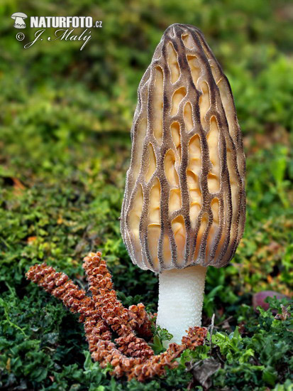 Conical Morel Mushroom (Morchella conica)
