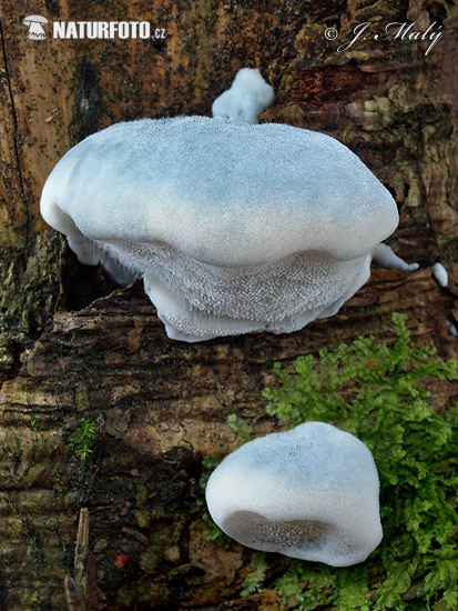 Conifer Blueing Bracket Mushroom (Postia caesia)