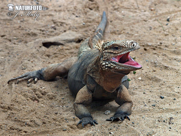 Cuban Rock Iguana (Cyclura nubila)