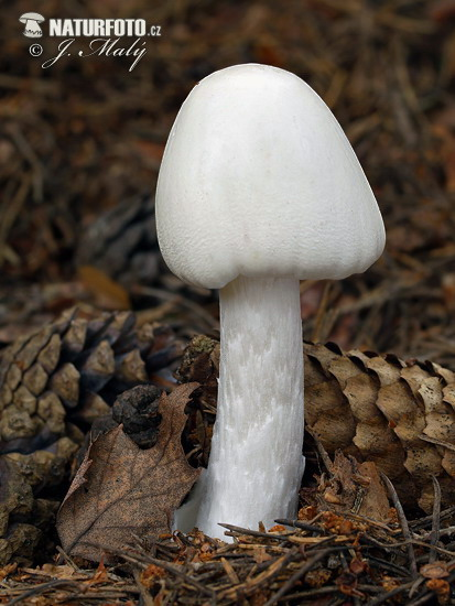 Destroying Angel Mushroom (Amanita virosa)