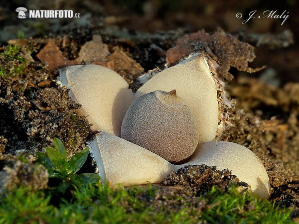 Four-footed Earthstar Mushroom (Geastrum quadrifidum)