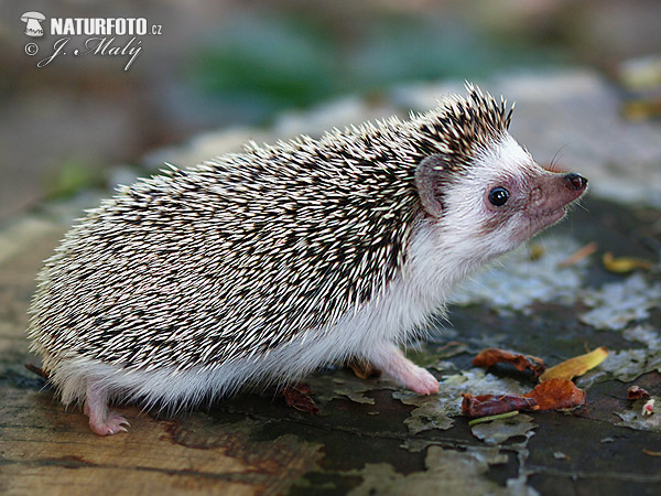 Four-toed hedgehog (Atelerix albiventris)