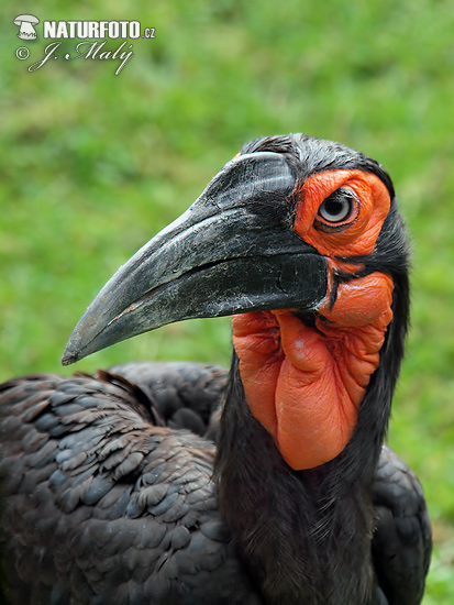 Ground Hornbill (Bucorvus leadbeateri)