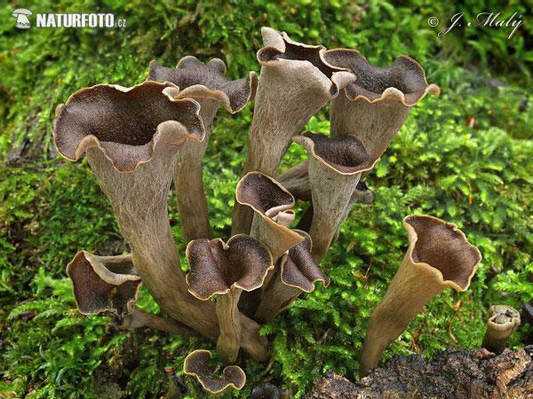 Craterellus cornucopioides pictures horn of plenty images - Cuisiner trompette de la mort ...