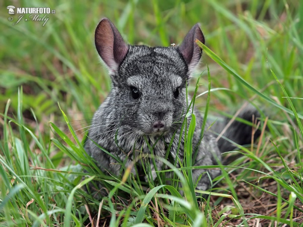 Long-tailed chinchilla (Chinchilla lanigera)