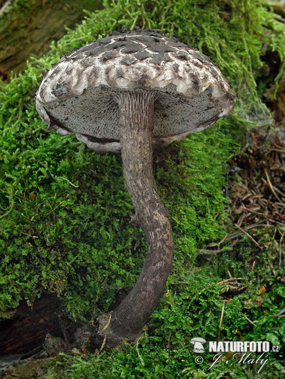 Old Man of the Woods Mushroom (Strobilomyces strobilaceus)