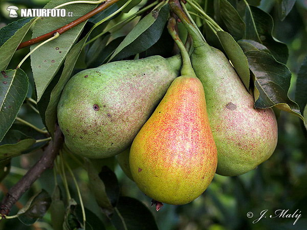 Pear (Pyrus sp.)