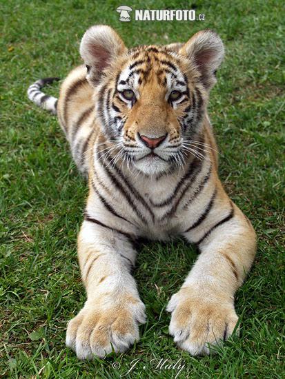 Tiger hybrid - photo#21