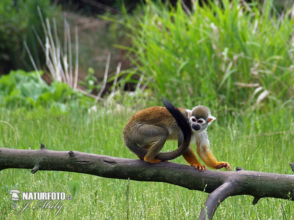 Squirrel monkeys (Saimiri sciureus)
