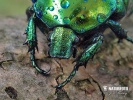 Big Rose-Chafer