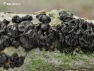 Black Witches' Butter