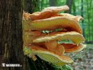Chicken of the woods