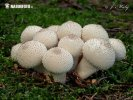 Gasteroid mushrooms (Homobasidiomycetes (Gasterales))