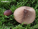 Curry Milkcap