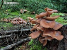 Dark Honey Fungus