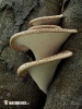 Dryad´s Saddle