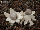 Four-footed earthstar