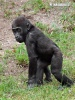 Gorilla occidentale