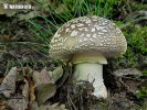 Grey Spotted Amanita