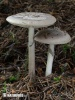 Grey Veiled Amanita