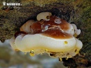 Late Fall Polypore