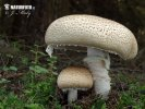 Agaricus - Stainers