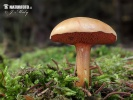 Peppery Bolete