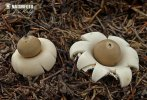 Sessile Earthstar