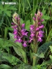 Western Marsh Orchid