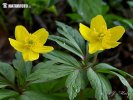 Yellow Wood Anemone