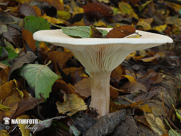 Trooping Funnel Mushroom (Infundibulicybe geotropa)