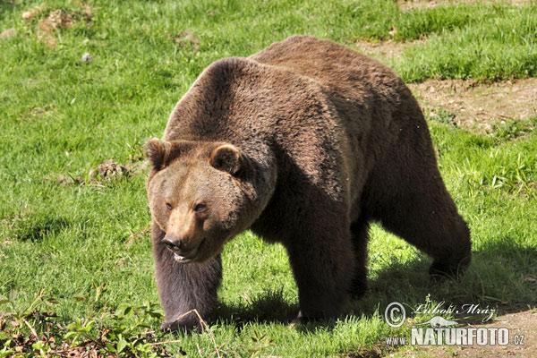 Ведмідь фото