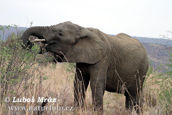 アフリカゾウの画像 p1_20