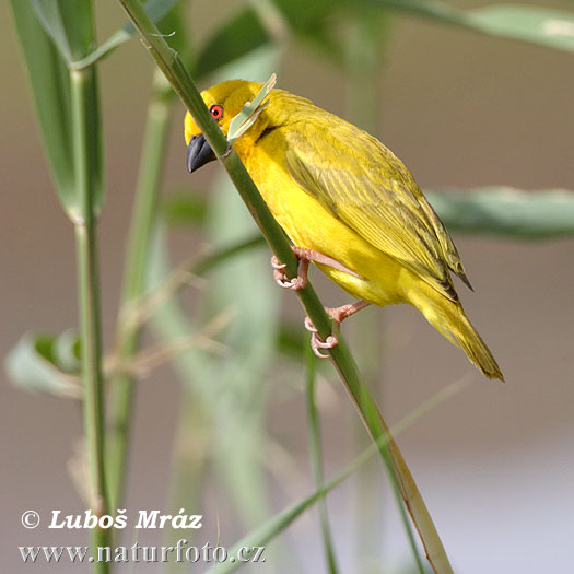 African Golden-weaver Yellow Weaver