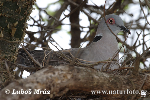African mourning Collared dove (Streptopelia decipiens)
