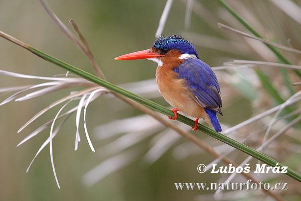 buona notte dans immagini buon...notte, giorno african-pygmy--kingfisher-05a19060