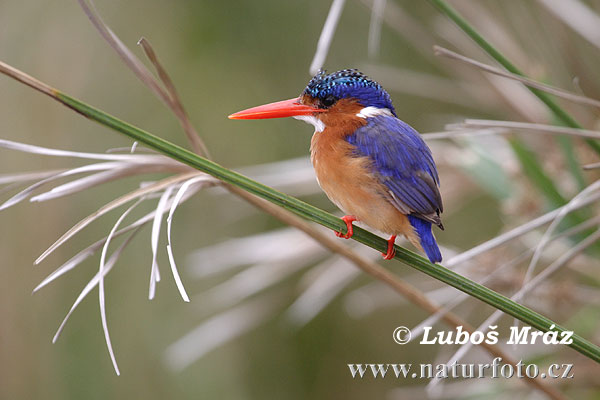 African Kingfisher African Pygmy Kingfisher